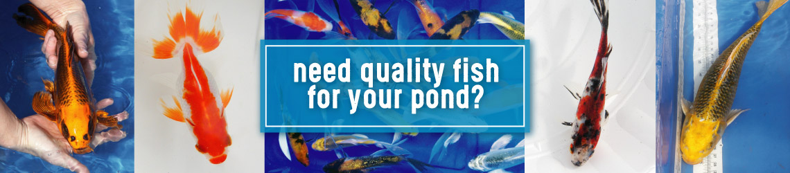 Examples of quality goldfish and koi we have stocked.